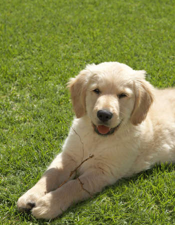 obedient: Small obedient golden retriever puppy lying on the green grass holding a stick in his paws