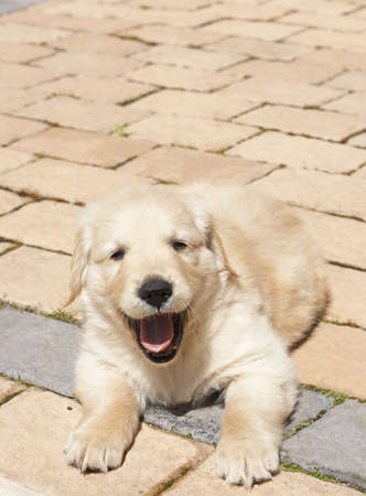 obedient: Small obedient golden retriever puppy lying on the pavement. Focus is on paws