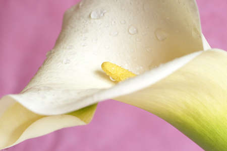 Macro shot of beautiful calla lilly on pink background. Very shallow depth of field photo