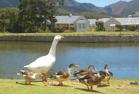 Group of ducks and goose eating bread crumbs next to the lake photo