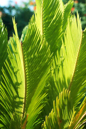 cycadaceae: Beautiful green Cycas revoluta, a plant in family Cycadaceae