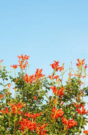 Orange Cape Honey (Melianthus) flowers on blue sky background photo