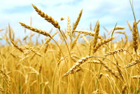 wheat harvest: Giallo grano pronto per la mietitura crescente in una fattoria campo  Archivio Fotografico
