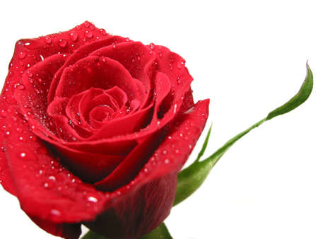 Red rose on white background covered with water droplets photo