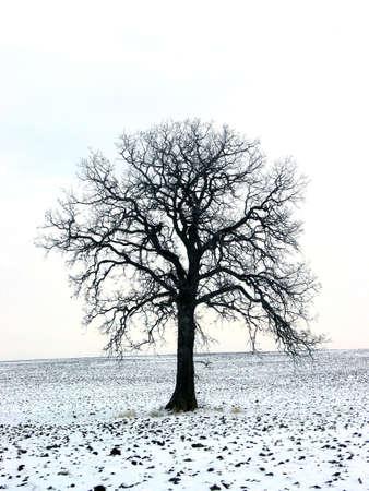standalone: Lonely oak tree in a winter field