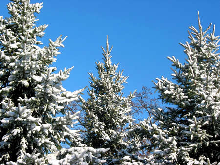 Winter fir trees covered with fresh snow on the background on bright blue sky photo