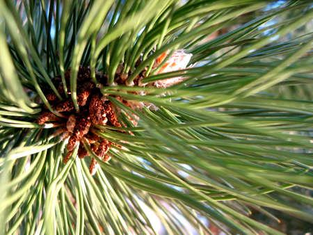 Closeup on pine branch top with green needles Stock Photo