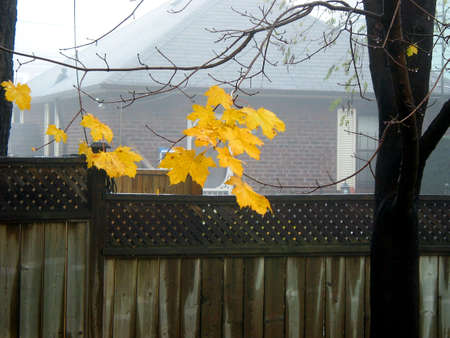 Last yellow leaves on maple trees on a foggy day photo