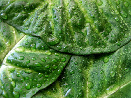 Three overlapping green leaves with water droplets
