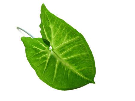 녹색 잎 흰색 배경에 격리 스톡 콘텐츠