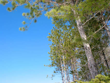 Pine trees with very bright spring blue sky Stock Photo - 353207