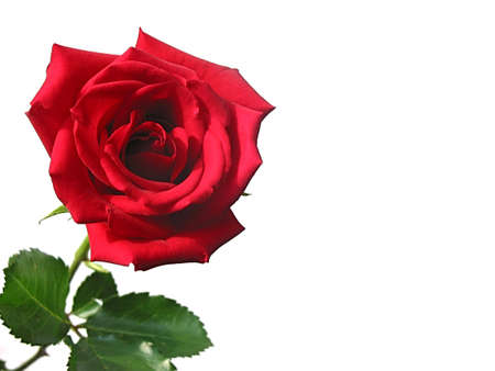 Red rose isolated on white background photo