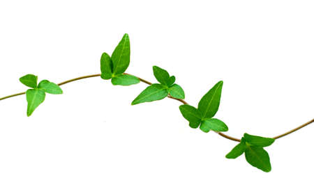 Botanical design element on white background: green ivy branch