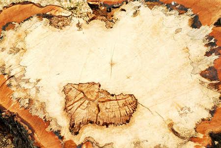 Closup on freshly cut old tree trunk