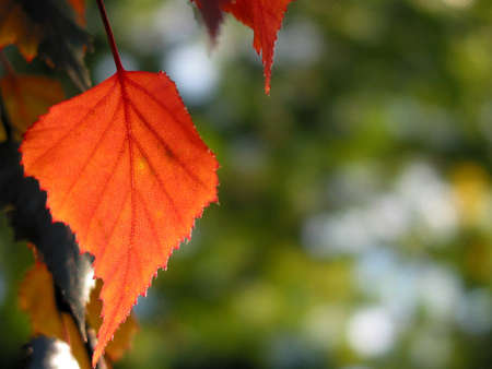 Closeup on isolated red autumn leaf with open space for text