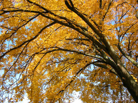 Fragment of a beautiful big old tree with bright yellow leaves