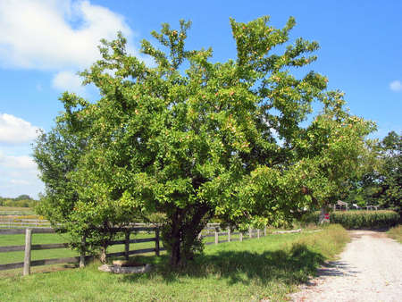 Old apple tree on a farm on a bright sunny day Stock Photo - 357533