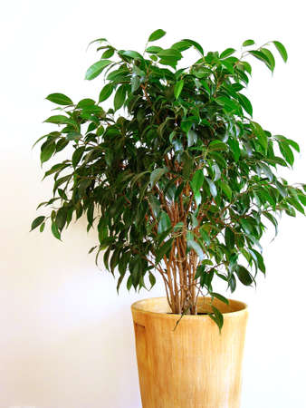 houseplant: Houseplant ficus on white background