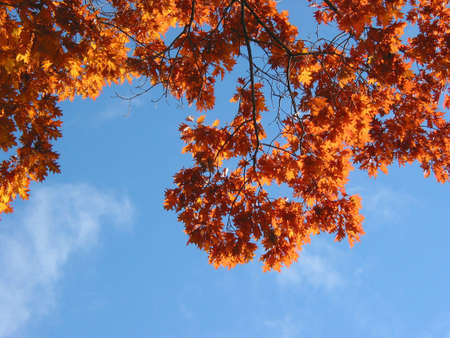 Nicely sunlit fall oak branches on the background of bright blue sky photo