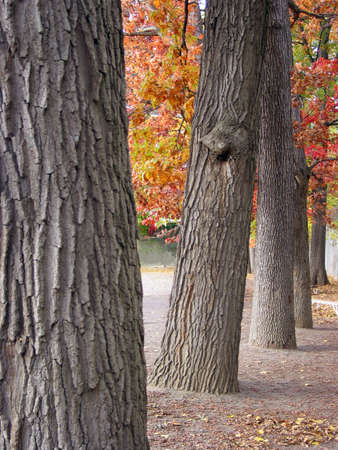resembling: Thick trunks of old tree in a row resembling columns Stock Photo