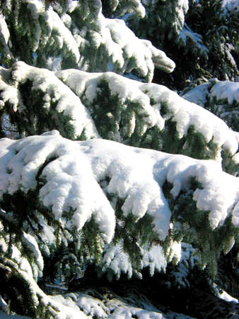 Winter fir branches covered with fresh snow photo