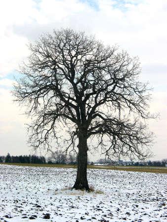 Lonely eik in de winter veld