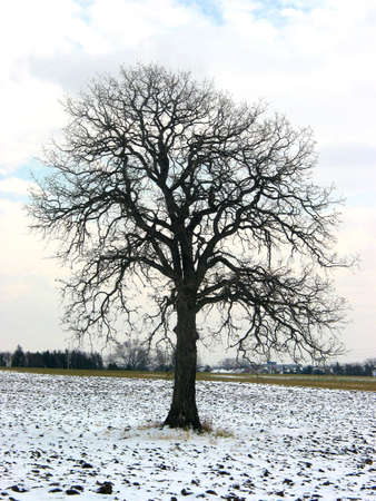 Lonely oak tree in a winter field