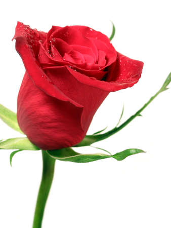 Red rose on white background covered with water droplets Stock Photo