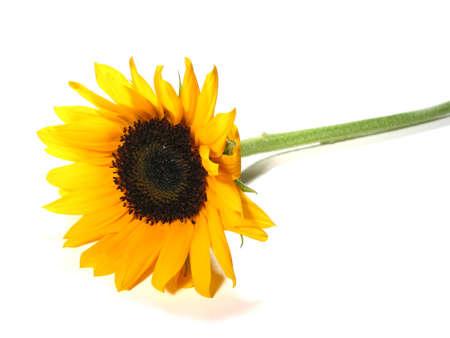 sunflower isolated: Singolo girasole isolato su sfondo bianco