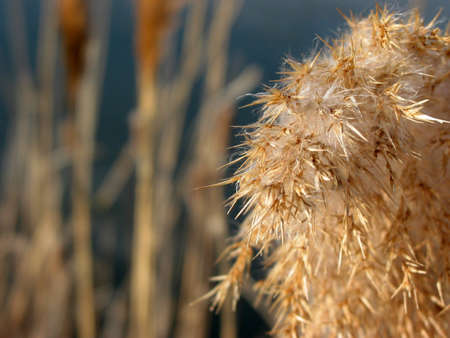 Closeup on fuzzy reed flower at the winter pond