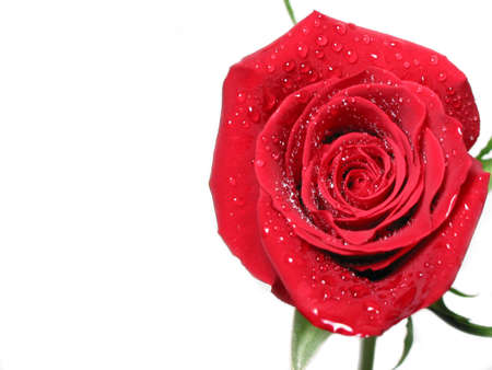 Red rose on white background covered with water droplets, space for text