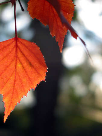 Closeup on a red autumn leaf with open space for text