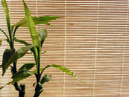 blinds: Fresh green bamboo shoots on the background of bamboo blinds