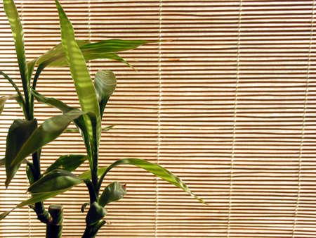 shoots: Verde fresco brotes de bamb� en el fondo de las persianas de bamb�