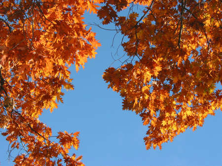 Beautifully lit fall oak tree branches on the background of bright blue sky photo
