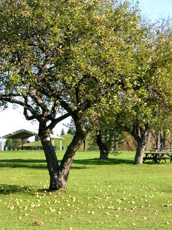 late summer: Park in late summer with apple trees, fallen apples and picnic tables