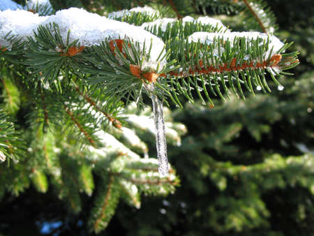 icicles: Fir tree branches covered in snow and icicles