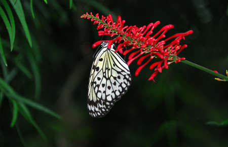 Rice paper butterfly on red flower photo