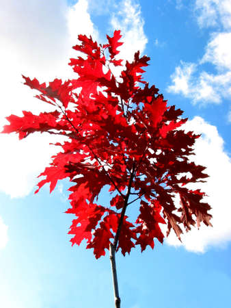 standalone: Young oak tree in the fall, very bright red leaves (color is natural, not adjusted!)