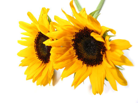 Two sunflowers isolated on white background Stock Photo