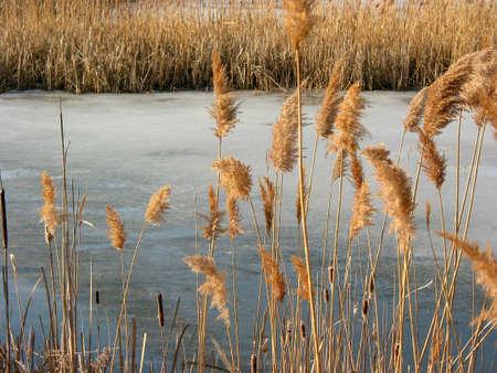 freeze dried: Invierno ca�as en el estanque congelado Foto de archivo