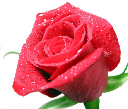 Red rose covered with water droplets on white background photo