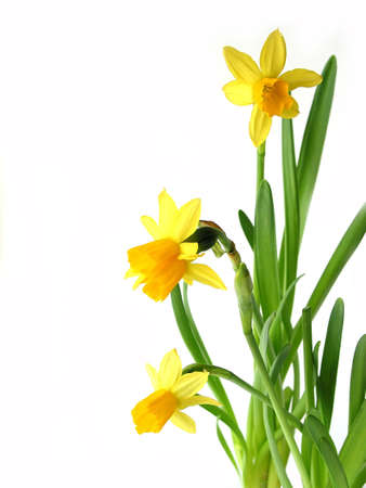 Spring daffodils on white background