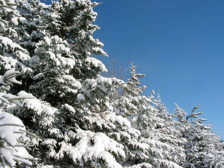 Snow covered fir trees with space for copy