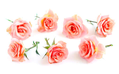 scattered on white background: Rose blossoms on white background Stock Photo