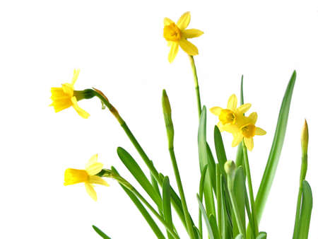 Spring daffodils on white background photo