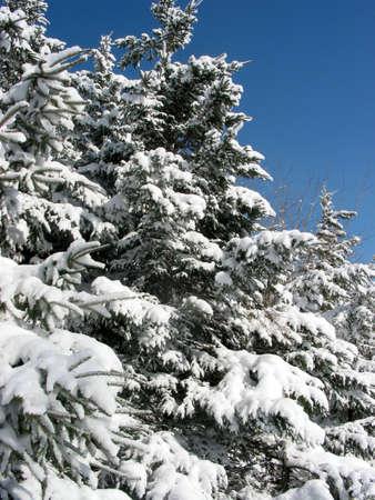 밝은 푸른 하늘이 눈 덮인 전나무