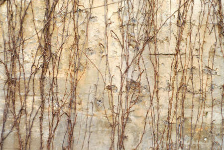 crack climbing: Abstract background of old concrete wall covered in leafless ivy