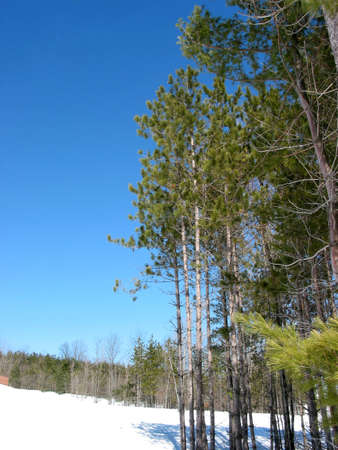 Pine trees in early spring Stock Photo - 368940