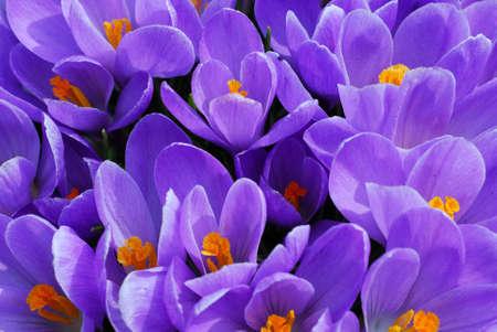 crocuses: Purple crocuses closeup